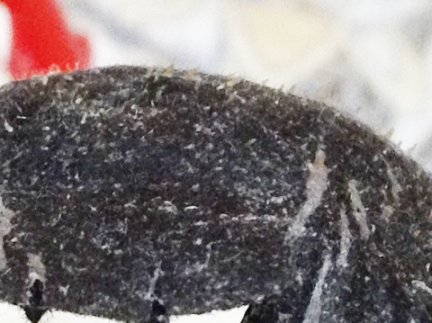 ビオレの毛穴すっきりパックにビッシリと付いた汚れ
